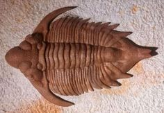 Trilobite Metopolichas erici