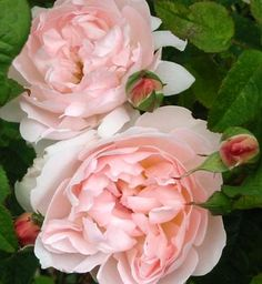 Sharifa Asma - David Austin Rose