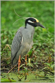http://zuropak.com/photogallery/Texas-2011/Yellow-crowned-Night-Heron-148.jpg