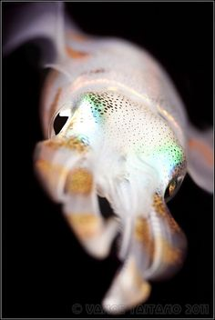Cuddlefish - it doesn't look very cuddly to me!