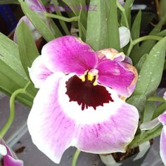 Round orchid