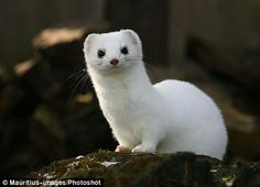Stoat - crazy little things, but they're so cute!