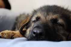 Bear at 7 weeks. German Shepherd Puppy