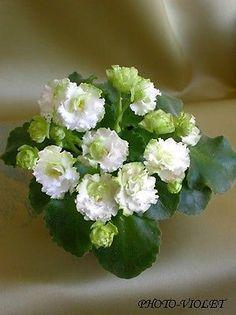 African Violet Saintpaulia Irish Flirt Plug Plant | eBay