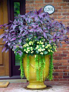 Persian shield, solenia begonias, creeping jenny