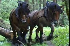 Belgian Ardennnes Horse : Belgian Draft Horses-Horse logging Originated in the Ardennes Mountains bordering Belgium & France but distinctly different from both the French & Swedish version of the breed Thought to have been bred in the Ardennes plateau for around 2000 years, considered one of the oldest draft breeds & valued by Napoleon as heavy war mounts.
