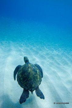 hawaiian sea turtles <3