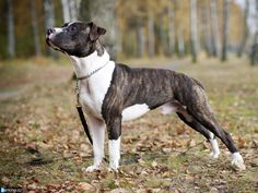 pitbull dogs | Tiger Pitbull Dog Pictures and Wallpapers