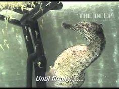Male seahorse giving birth (cá ngựa đực sinh con) | Vietnam Aquaculture Network - Mạng Thủy sản Việt Nam