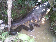 Anaconda Snake eat Something Mobile