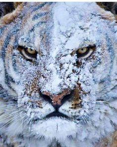 Tigre después de una pelea en la nieve