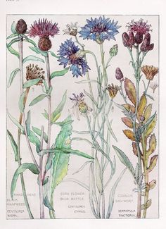 Corn Flower Botanical Print by Isabel Adams - Antique Print
