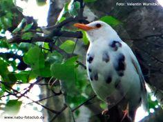 Schwarz auf Weiß oder umgekehrt - Die Amsel im Wintervogel-Porträt - https://www.nabu.de/tiere-und-pflanzen/aktionen-und-projekte/stunde-der-wintervoegel/vogelportraets/12987.html