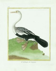 Martinet c1770's: Anhinga de Cayenne. Anhinga