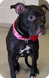 Troy, OH - Pit Bull Terrier Mix. Meet Tulip, a dog for adoption. http://www.adoptapet.com/pet/17898260-troy-ohio-pit-bull-terrier-mix