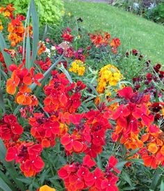 Wallflower Care: How To Plant A Wallflower Garden Plant - Fragrant and colorful, many varieties of wallflower plants exist. Some are native to areas of the United States. Most gardeners succeed at growing wallflowers in the garden. Wallflower plants can brighten containers as well. Learn how to plant a wallflower and what is needed for wallflower care.