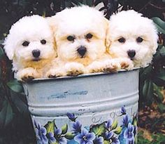 Nothing is more beautiful than a bucket of Bichons.