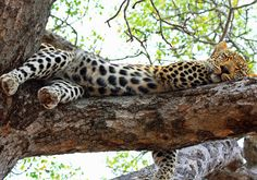 The Kruger National Park is the perfect destination to view the Big Five as well as the multitude of animals and birds Africa has to offer. Kruger National Park, National Parks, Pet Birds, Safari, Photographs, Africa, Around The Worlds, Animals, Animales