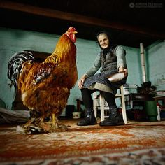 Love this photo…. (BEAUTIFUL buff brahma rooster (Asiatic Chicken) and awesome picture) ♥