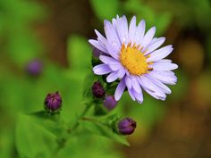 pacific northwest aster - Google Search