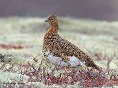 Willow Ptarmigan, female (Lagopus lagopus) via Kai Helge Andersen Photographer - Hattfjelldal, Norway FB