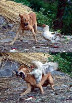 Funny pictures about Badass chicken. Oh, and cool pics about Badass chicken. Also, Badass chicken photos. Funny Animal Pictures, Best Funny Pictures, Funny Photos, Funny Animals, Cute Animals, Animal Funnies, Funny Images, Diego Go, Laugh Out Loud