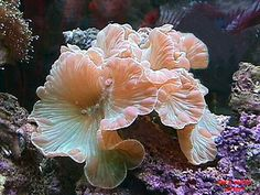 Nemenzophyllia Turbida (Fox coral, Jasmine coral)