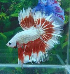 808 Full mask white red dragon HM male Fish Aquariums, Aquarium Fish, Beta Fish, Siamese Fighting Fish, Pretty Animals, Underwater Life, Fresh Water Tank, Beautiful Fish, Red Dragon