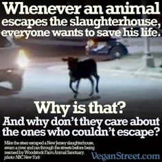 """Yes, incredible isn't it? I think it's because humans get caught up in the heroic hysteria - like, """"We must save this brave little individual who defied the odds and escaped his cruel fate!"""" Let us save all of them by stop eating meat."""
