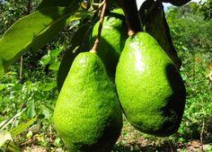 Выращивание авокадо: условия выращивания авокадо из косточки, как правильно прорастить и посадить косточку авокадо?