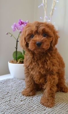 Chocolate Cavoodle puppies for sale - Charlieoodles cavoodles and Spoodles Cockapoo Puppies For Sale, Cute Baby Puppies, Teddy Bear Puppies, Super Cute Puppies, Baby Dogs, Cute Baby Animals, Doggies, Maltese Puppies, Lab Puppies