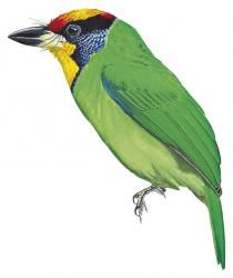 Necklaced Barbet (Megalaima auricularis) (Formerly included in Megalaima franklinii)