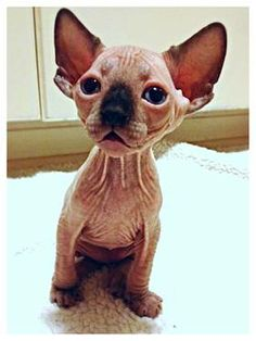 Sphynx Kittens- just so I could out cute sweaters on 'em