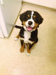 bernese mountain dog in the kitchen