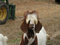 If Elvis were a goat... |
