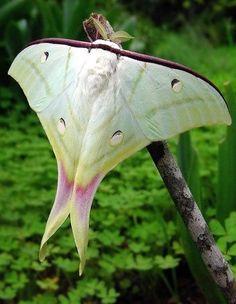 Indian moon moth or Indian luna moth (Actias selene)