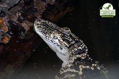 Krokodile, Kaimane und Alligatoren gehören zu den Tieren, die in der Haltung sehr kostenintensiv sind. In unserer Krokodilanlage werden 10.000 Liter Wasser mehrmals täglich umgewälzt und gereinigt.