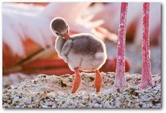 Crimson-winged Flamingo chick. dawww
