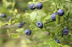 Waldheidelbeeren Sylvana: Sehr süsse dunkelblaue Heidelbeere