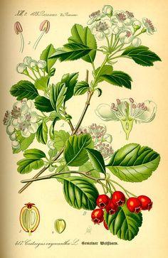 how draw tree hawthorn - Поиск в Google