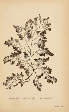 B. Whidden, Sea mosses, Boston, 1893.: Sea Moss, Adhesive, Botanical Drawings, Botanical Illustrations, Seaweed, Boston 1893, Mosses Boston B, Photo, Botanical References