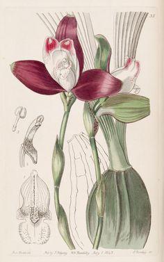 v. 29 (1843) - Edwards's botanical register. - Biodiversity Heritage Library
