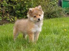 kleine honden rassen - Google zoeken Shih Tzu, Animals And Pets, Animal Pictures, Dog Breeds, Cute Dogs, Husky, Dog Cat, Cats, Doggies