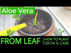 How to Plant & Grow Aloe Vera at Home from Leaf? Planting & Caring Aloe Vera in a Pot Propagate Aloe Vera, Growing Aloe Vera, Aloe Leaf, Diy Pallet Projects, Planting, Gardening, Natural Solutions, Aloe Vera Gel
