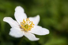 Buschwindröschen - Naturfotografie Blog