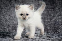 2016: Varden A Zwollywood Cat. 6 Weeks old. Ragdoll kitten, blue colourpoint. Eragon litter.