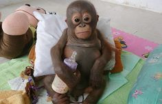 Baby Orangutan Who Spent 10 Months Living in a Chicken Cage Finally Receives Love and Proper Care (VIDEO)