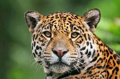 jaguar animals pictures | Jaguar Animal, One Of The Largest Cats In The World 3rd place largest~ 2nd place, african lion~1st place Bengal tiger