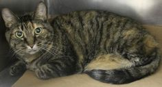 ADOPTED>Intake: 6/5 Available: Now  NAME: Meow  ANIMAL ID: 28028914 BREED: DSH  SEX: Spayed Female  EST. AGE: 3 yrs  Est Weight: 9.8 lbs  Health:  Temperament: Friendly  ADDITIONAL INFO: O/S  RESCUE PULL FEE: FREE!!