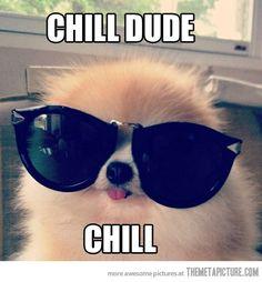 funny-pomeranian-dog-sunglasses.jpg (500×540)